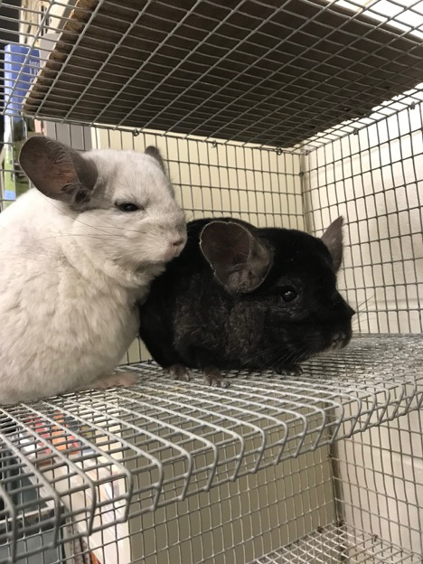 Two+chinchillas+were+brought+into+the+FFA+program%2C+Macy+and+Miranda.+%0A%28Photo+by+Jasa+Kopack%29